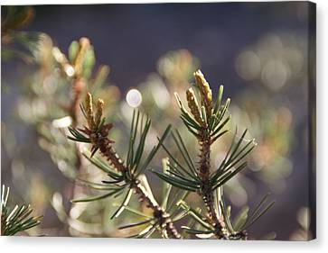 Canvas Print featuring the photograph Pine by David S Reynolds