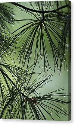 Pine Droplets Canvas Print by Judy  Johnson