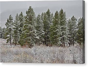 Pine Flurries Canvas Print