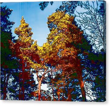 pine  Leif Sohlman Canvas Print by Leif Sohlman