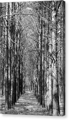 Pine Plantation Canvas Print by Betty Northcutt