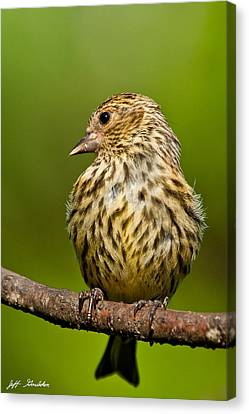 Pine Siskin With Yellow Coloration Canvas Print