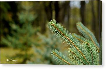 Pine Tree Canvas Print by Alex King