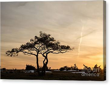 Pine Tree Portrait Canvas Print