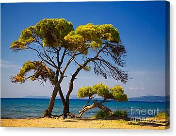 Pine Trees By The Beach Canvas Print by Gabriela Insuratelu