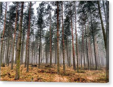 Pine Trees In Morning Fog Canvas Print by EXparte SE