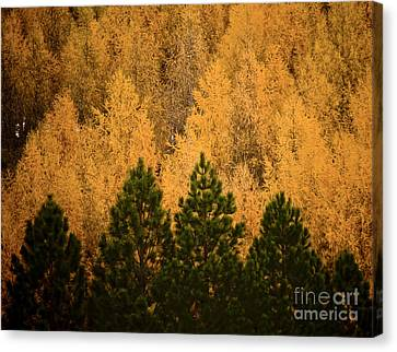 Pine Trees Canvas Print by Tim Hester