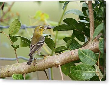 Pine Warbler With Lunch Canvas Print by Jennifer Zelik
