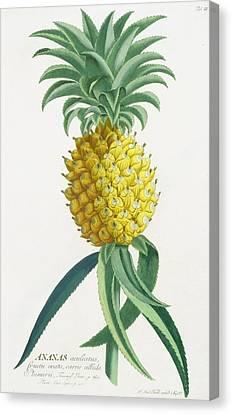 Pineapple Engraved By Johann Jakob Haid Canvas Print by German School