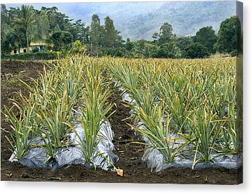 Bromeliad Canvas Print - Pineapple Farm, Mauritius by Science Photo Library
