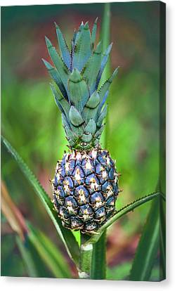 Pineapple Growing On Plant Canvas Print