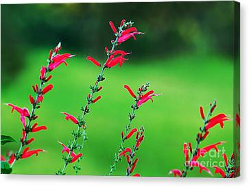 Pineapple Sage Canvas Print by Kaye Menner