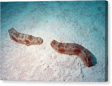 Pineapple Sea Cucumbers Canvas Print by Louise Murray