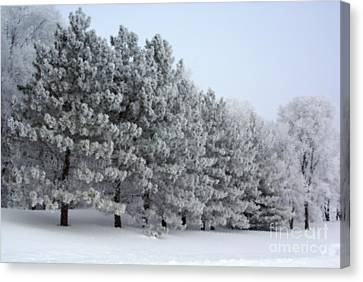 Pines In The Winter Canvas Print