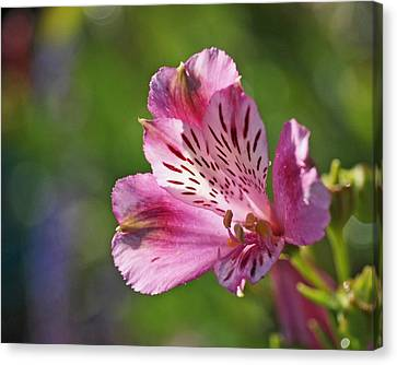 Pink Alstroemeria Flower Canvas Print by Rona Black