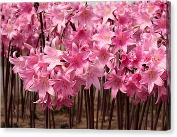 Pink Amaryllis Canvas Print by Denice Breaux