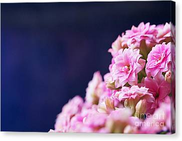 Pink And Blue Canvas Print by Pamela Gail Torres