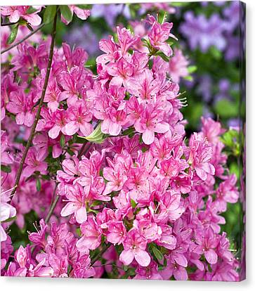 Pink And Blue Rhododendron Canvas Print by Frank Tschakert