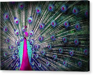 Pink And Blues Peacock Canvas Print by Diana Shively