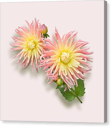 Pink And Cream Cactus Dahlia Canvas Print by Jane McIlroy