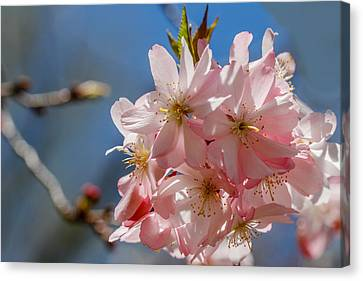 Pink And Pretty Canvas Print by Robert Hebert