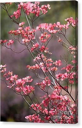Pink And Purple Spring Trees Canvas Print by Carol Groenen