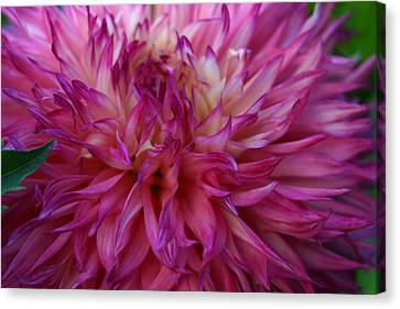 Canvas Print featuring the photograph Pink And White Dahlia  by Denyse Duhaime