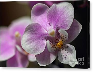 Pink And White Orchid Canvas Print