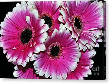 Pink And White Ornamental Gerberas Canvas Print by Kaye Menner
