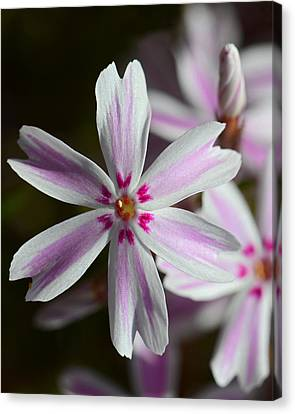 Pink And White Canvas Print