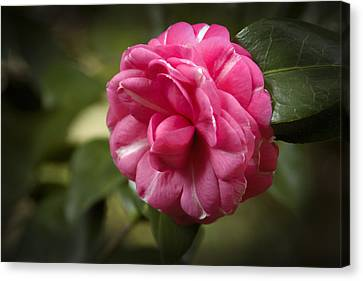 Pink And White Stripped Camellia Canvas Print by Penny Lisowski