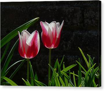 Pink And White Tulip Canvas Print