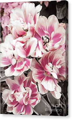 Pink And White Tulips Canvas Print by Elena Elisseeva