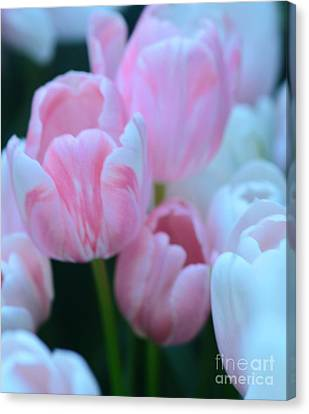 Pink And White Tulips Canvas Print by Kathleen Struckle