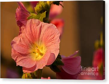 Pink And Yellow Hollyhock Canvas Print by Sue Smith
