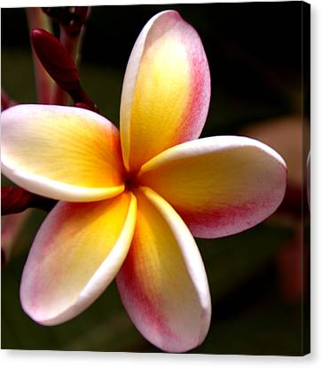 Close Up Floral Canvas Print - Pink And Yellow Plumeria by Brian Harig
