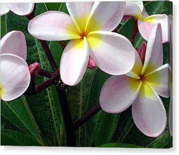 Pink And Yellow Plumeria Canvas Print by Karen Nicholson