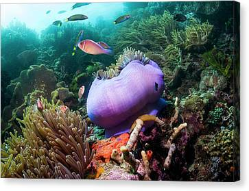 Pink Anemonefish With Magnificent Anemone Canvas Print by Georgette Douwma
