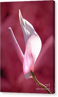 Canvas Print featuring the photograph Pink Anthurium by Ellen Cotton