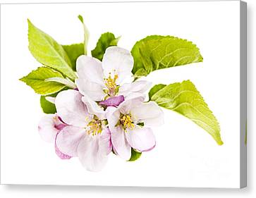 Pink Apple Blossoms Canvas Print by Elena Elisseeva