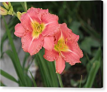 Pink Asiatic Lily Canvas Print by Allan Levin