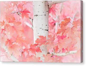 Pink Aspen Canvas Print by Daniel Huerlimann