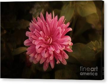 Canvas Print featuring the photograph Pink Aster by Marjorie Imbeau