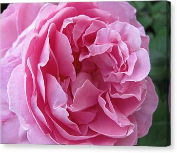 Canvas Print featuring the photograph Pink Beauty by Pema Hou