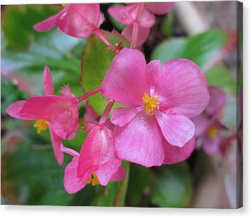 Pink Begonias Canvas Print by Barbara Yearty