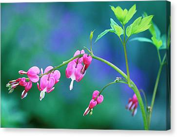 Pink Bleeding Hearts In Garden Canvas Print by Jaynes Gallery