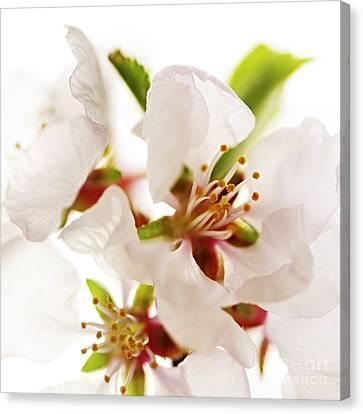 Pink Blossom Canvas Print by Elena Elisseeva