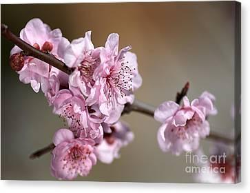 Pink Blossom Canvas Print by Joy Watson