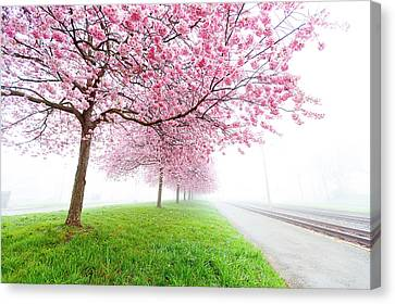 One Point Perspective Canvas Print - Pink Blossom On Trees by Wladimir Bulgar