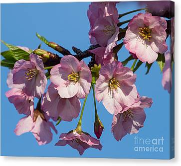 Pink Blossoms-3 Canvas Print